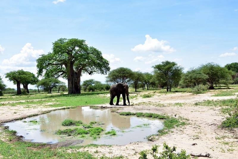Elefantes y baobabs, iconos de Tarangire. Por Daniel