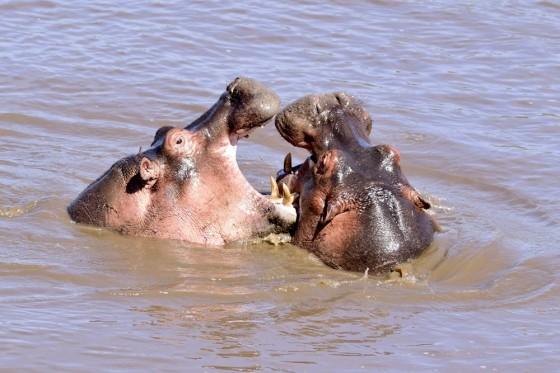 Los ríos dominio del hipopótamo. Por Daniel