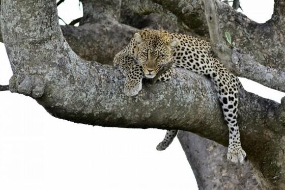 Siempre atento el leopardo. Por Daniel
