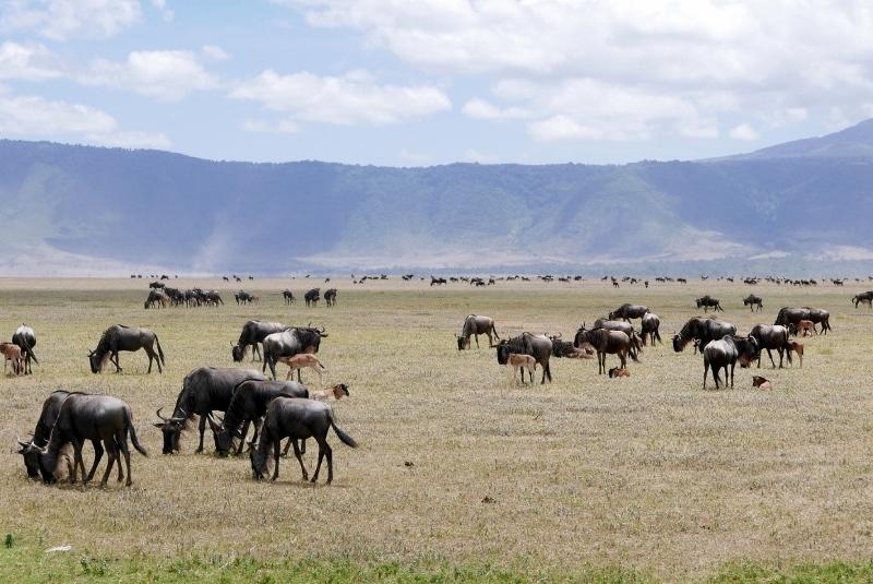 Ñus y crías en Ngorongoro. Por fabiola