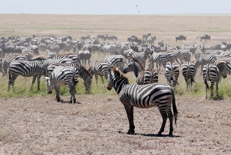 Cebras, buscando la seguridad del grupo. Por Victor