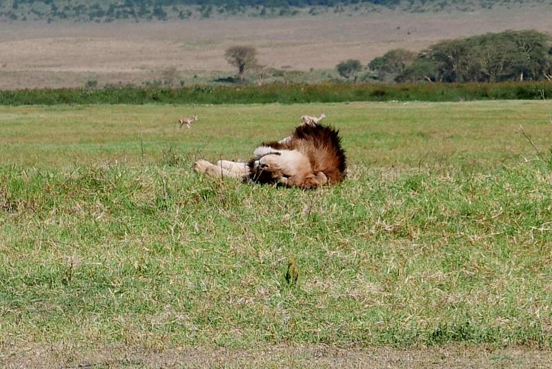 El relax del león en Ngorongoro. Por Victor
