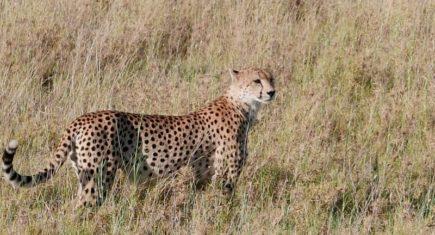 Elegante siempre el guepardo. Por Victor