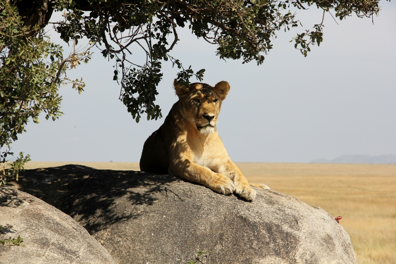 Leona posando en el Serengeti. Por Fernando M