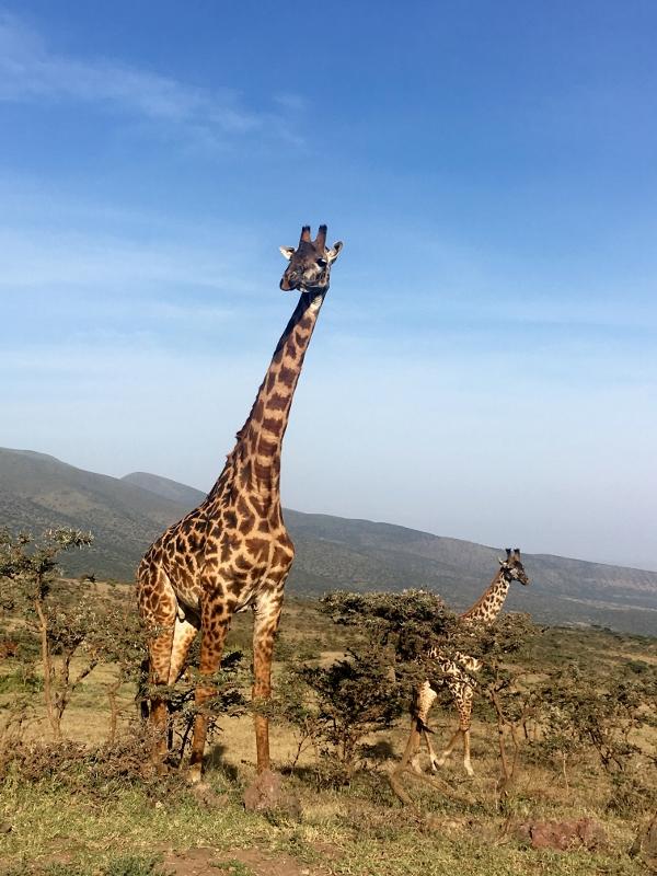 Majestuosas Jirafas en el Ngorongoro. Por Fernando M