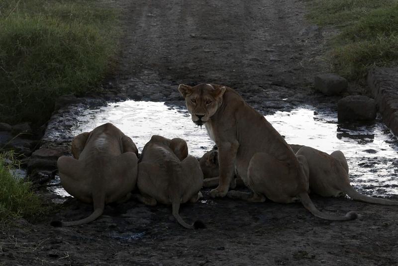 Serengeti, hogar de grandes depredadores. Por Fabiola