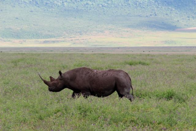 Rinoceronte en Ngorongoro. Por Albert