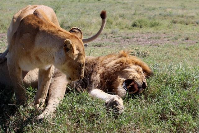 Una pareja en Serengeti. Por Judith