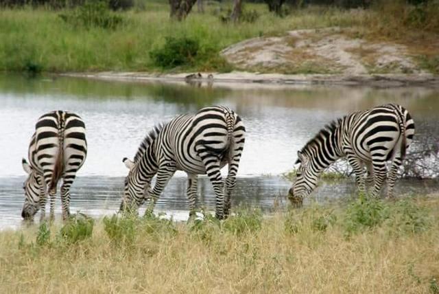 Cebras bebiendo agua. Por Marina