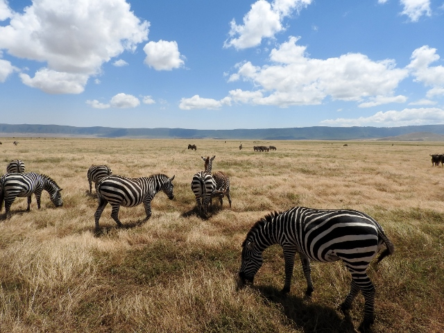Cebras en Serengeti. Por Marta