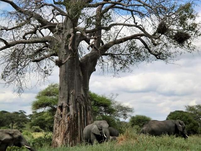 Elefantes y baobab en Tarangire. Por Marina