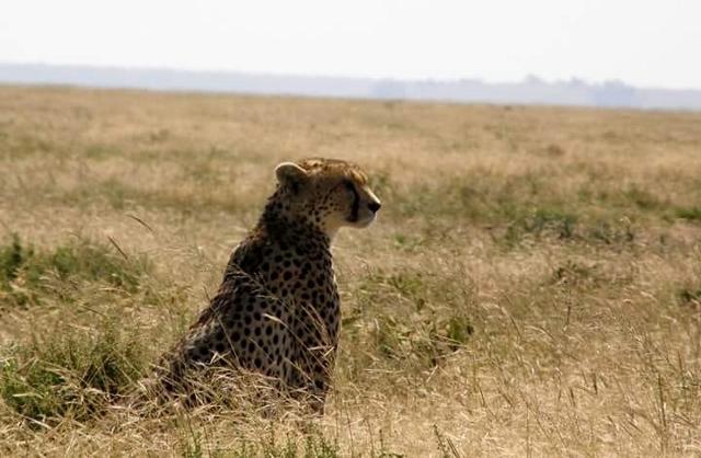 Guepardo en Serengeti. Por Marina
