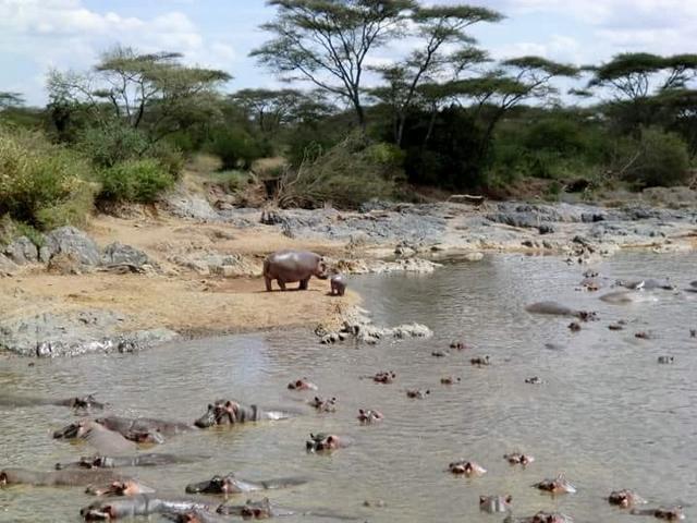 Hipopótamos en Serengeti. Por Marina