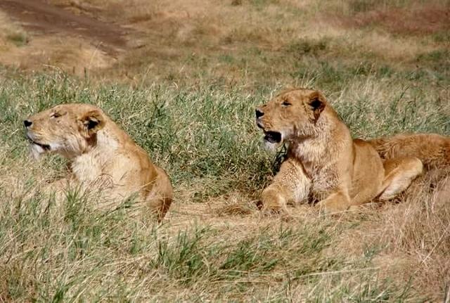 Leonas en Ngorongoro. Por Marina