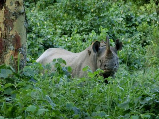 omento único, el rinoceronte. Por Jorge