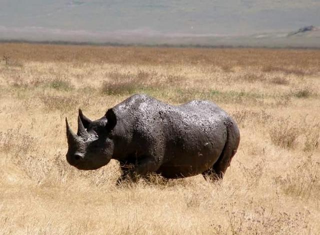 Rinoceronte en Ngorongoro. Por Marina