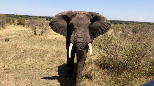 Elefante en Serengeti. Por Anna