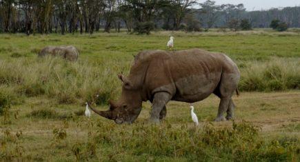 En Nakuru, el rinoceronte. Por Isabel