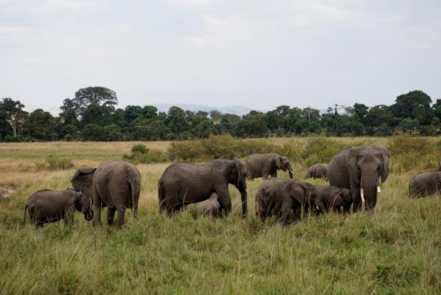 Grandes manadas de elefantes en Masai Mara. Por Isabel