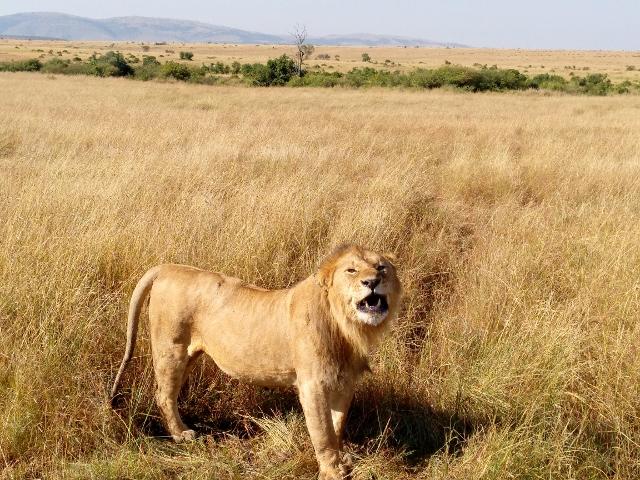 Leon en Masai Mara. Por Anna