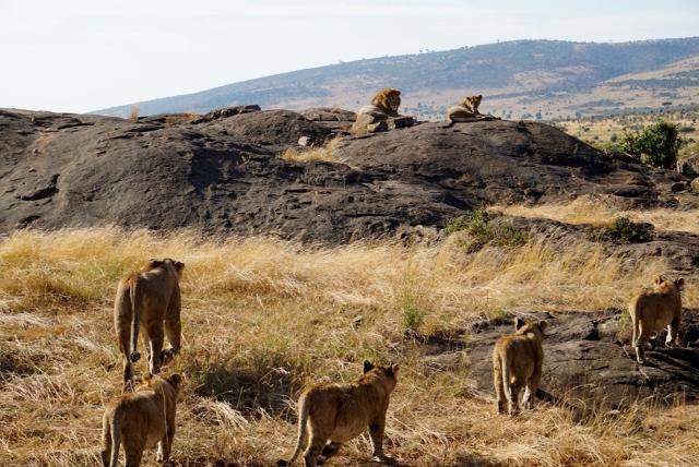 Leones en Masai Mara. Por Isabel