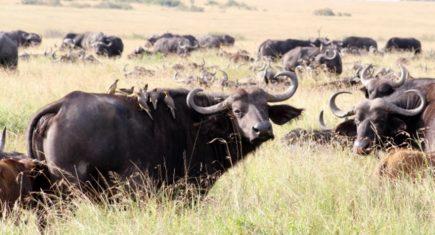 Búfalo en Masai Mara. Por Aurora