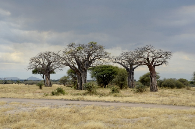 Baobabs en Tarangire. Por Montse