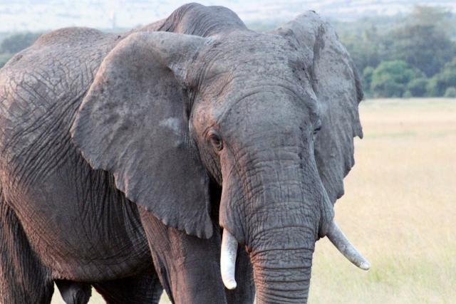Elefante en Masai Mara. Por Aurora