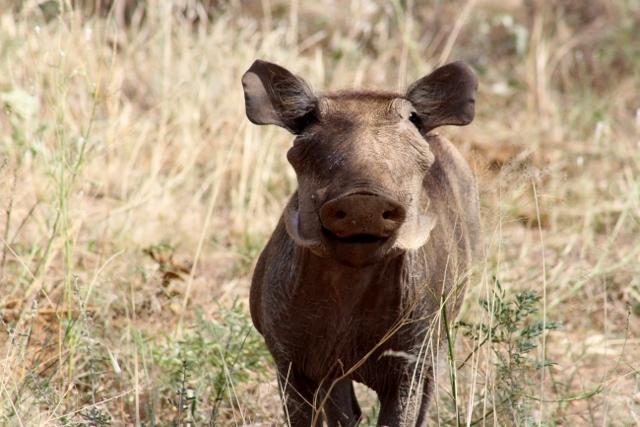 Facocero en Samburu. Por Jose Carlos