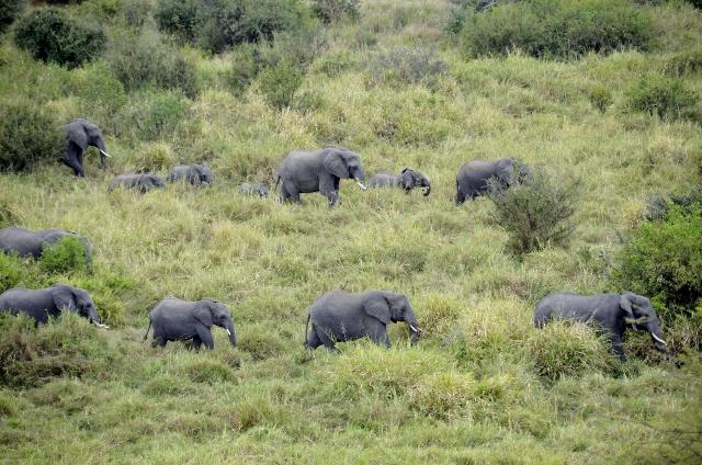Grandes manadas de elefantes en Tarangire. Por Montse