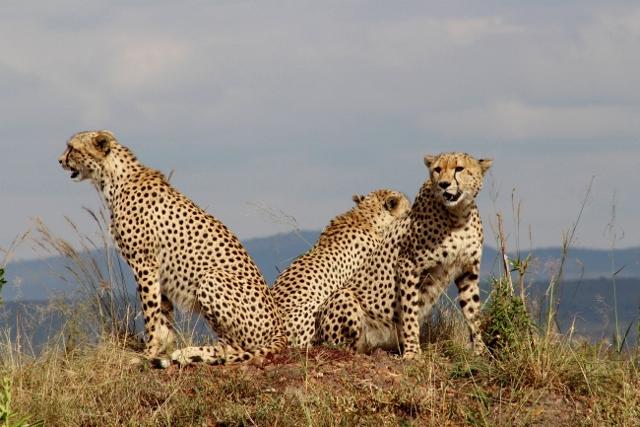 Guepardo en Masai Mara. Por Jose Carlos