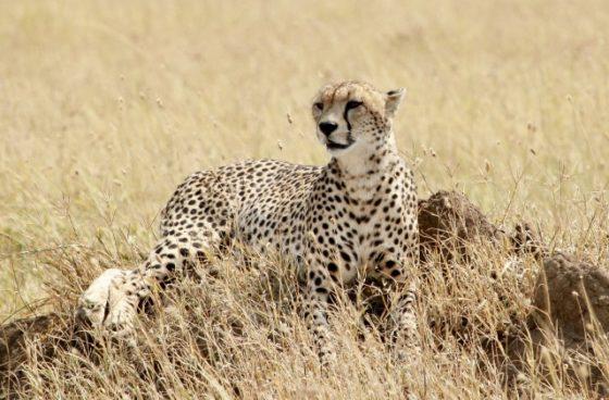 Guepardo oteando en Serengeti. Por Francesc