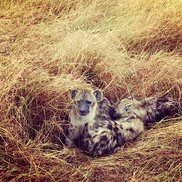 Hiena en Masai Mara. Por Jose Carlos