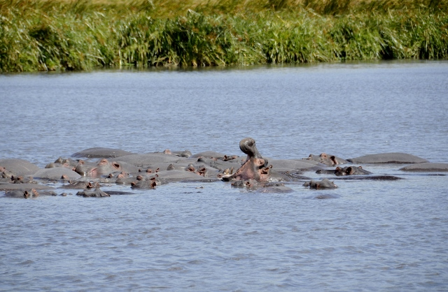 Hipopótamos en su reinado. Por Montse