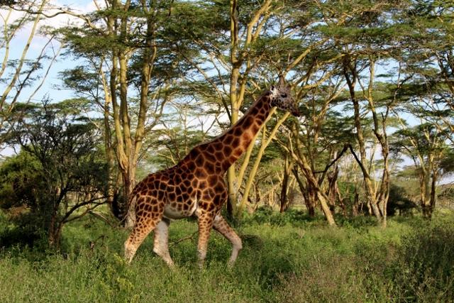 Jirafa en Nakuru. Por Aurora