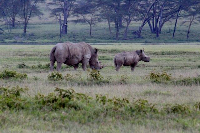 Rinoceronte en Nakuru. Por Aurora