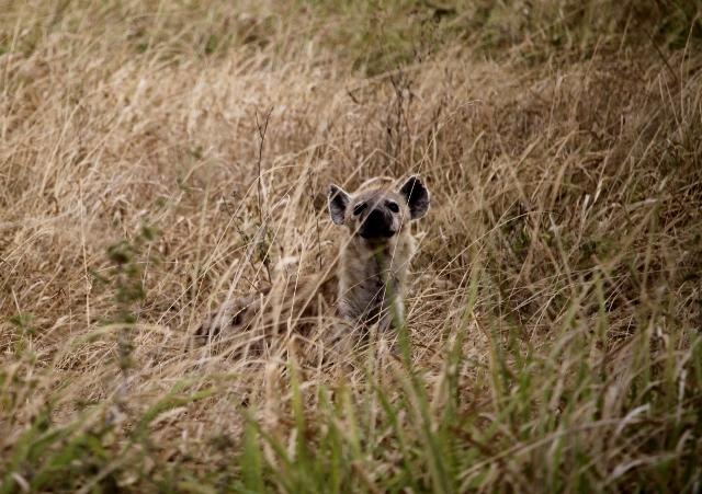 Siempre atenta la oportunista hiena. Por Francesc