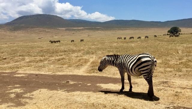 Cebra durmiendo de pie en el crater del Ngorongoro. Por Noelia