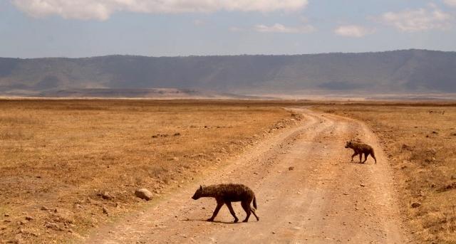 Hienas en el crater del Ngorongoro. Por Noelia