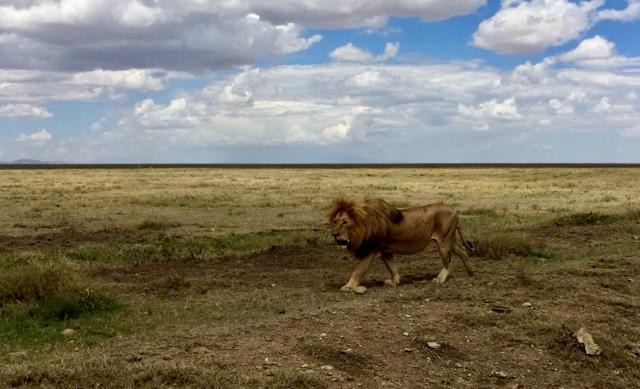 Leon en el P.N. del Serengeti. Por Noelia