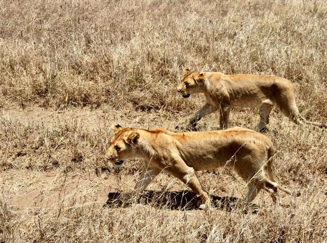 Leonas en el P.N. del Serengeti. Por Noelia