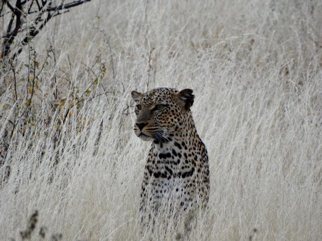 Leopardo. Por Verónica