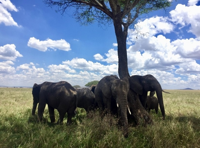 Manadas de elefantes en el P.N. del Serengeti, 2. Por Noelia