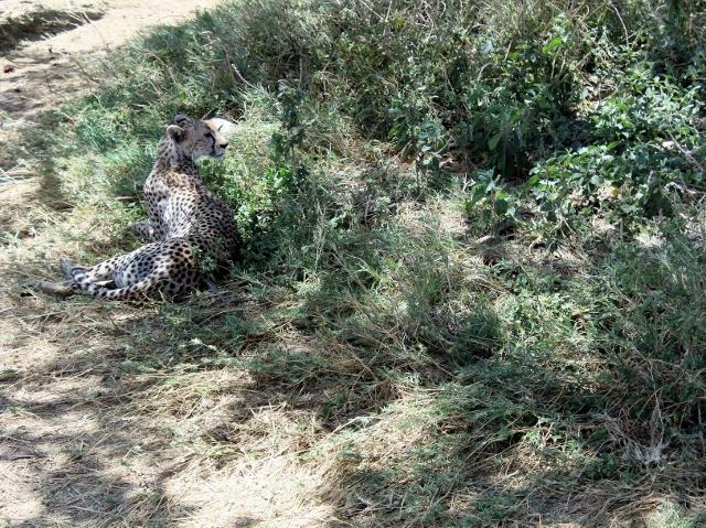 Mi momento mas emocionante, guepardo en el P.N. del Serengeti. Por Noelia