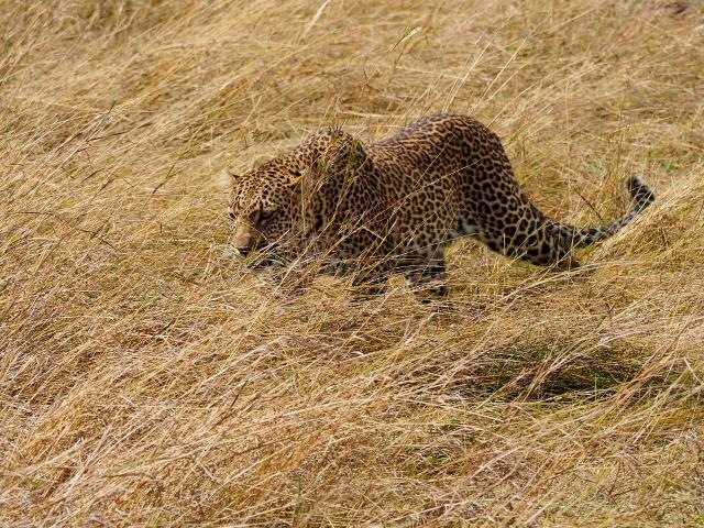 Siempre difícil de ver, el leopardo. Por Marcos