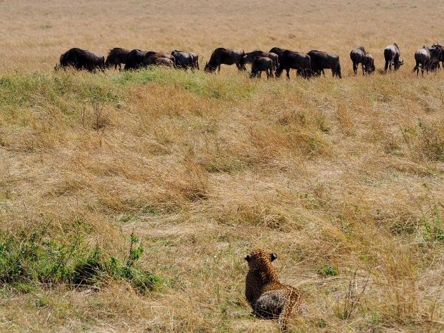 Leopardo seleccionando a su presa en el P.N. Masai Mara. Por María