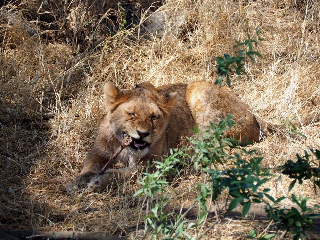 Cachorro jugando con un hueso en P.N. Serengueti. Por Marcos