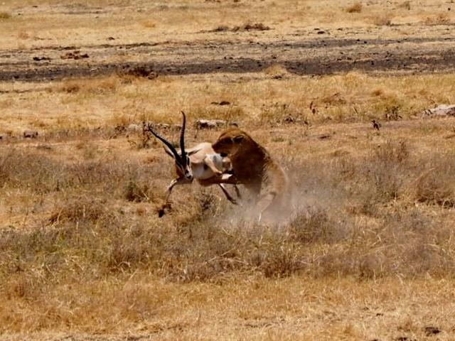 Documental en vivo y en directo en la caldera de Ngorongoro. Por María