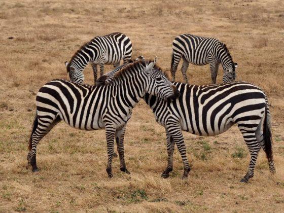 La belleza de las cebras en Ngorongoro. Por Marcos