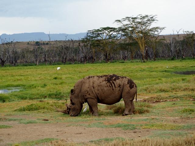 Rinoceronte en Nakuru. Por María